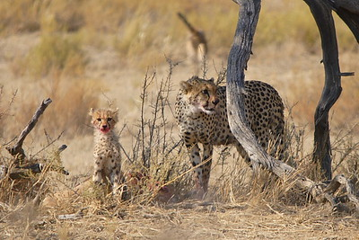 cheetah and cub dining on springbok